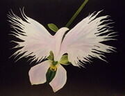 Orchid of Peace